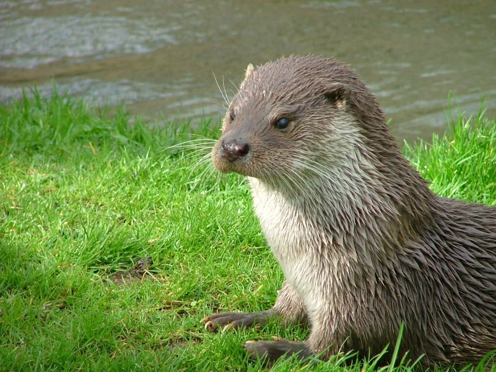 Otter_in_Southwold