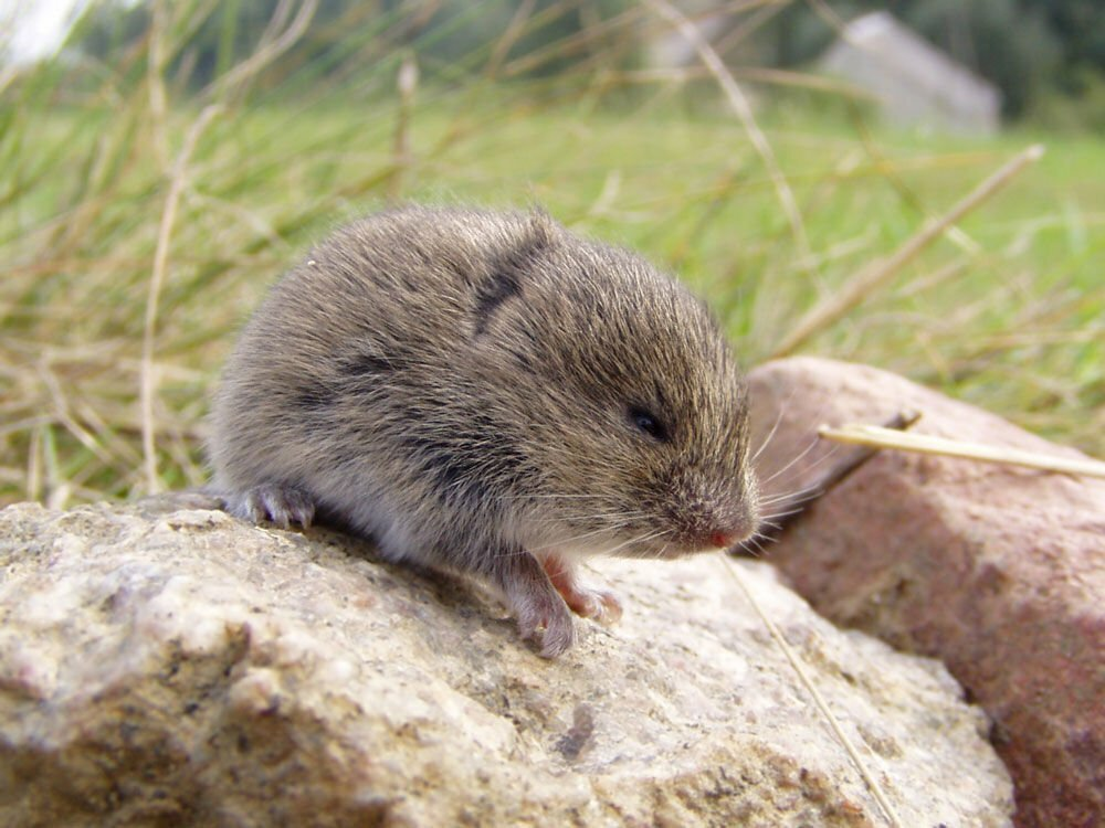 Pest-Ground-Burrowing-Rodent-Vole-01